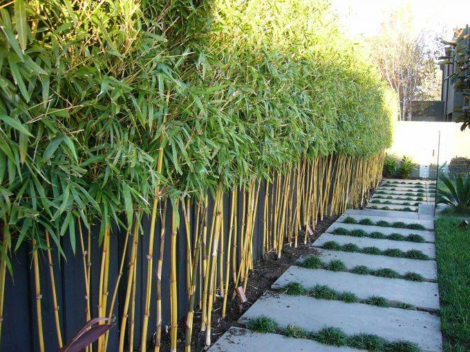 China Gold Bamboo Red Cloud Bamboo