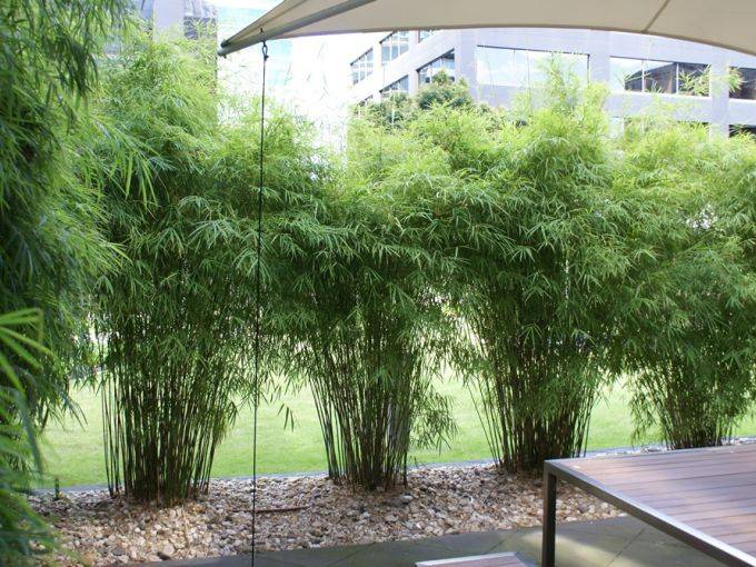 Himalayan Weeping Bamboo Care Red Cloud Bamboo