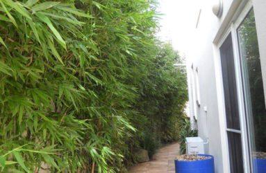 Gracilis Bamboo Red Cloud Bamboo