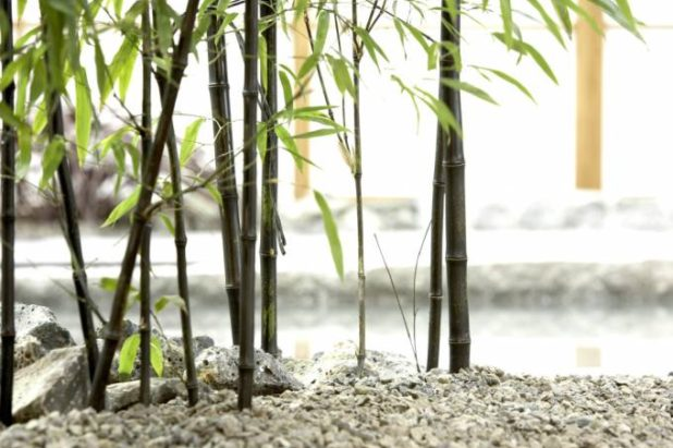Bamboo plants & Trees for sale | Bamboo nursery | Bamboo